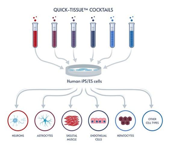 Human iPSC Differentiation Workflow